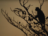 The Silhouette of an Unidentified Primate Perched High on a Tree Branch Photographic Print by Michael Nichols