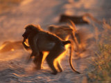 A Baboon Photographic Print by Beverly Joubert