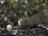 A Mongoose Approaches a Birds Egg on the Ground at Kaena Point Natural Area Reserve on Oahu Photographic Print