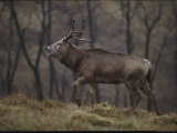 Pere Davids Deer at the Center for Research and Conservation Photographic Print by Michael Nichols