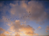 Cormorants in Formation Reproduction photographique par Marc Moritsch