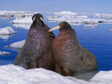 Atlantic Walruses Resting on a Patch of Ice Photographic Print
