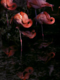 Chilean Flamingos Sleeping While Balanced on Single Legs Photographic Print