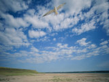 An Endangered Least Tern Soars over the Shores of its Shrinking Habitat Photographic Print by Joel Sartore