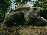 An Aldabra Tortoise at the Audubon Zoo Photographic Print by Michael Nichols
