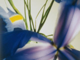 A Close-up of a Purple Iris Photographic Print by Sisse Brimberg