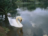 Swans Float in the Water Photographic Print by Roy Toft