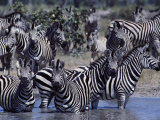 A Herd of Zebras in a River Photographic Print by Beverly Joubert
