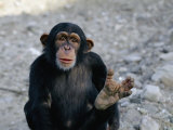 Chimpanzee Showing His Foot Photographic Print by Kenneth Garrett