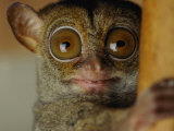 Tarsier Photographic Print by Michael Nichols