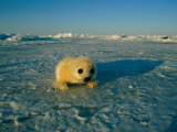 A Newborn Harp Seal Pup in a Yellowcoat, Stares Directly at the Camera Photographic Print