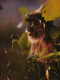 Silvered Leaf Monkey Photographic Print by Mattias Klum