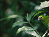A Fig Parrot Sits on a Tree Branch in Australia Photographic Print by Nicole Duplaix