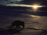 Bison in the Snow Photographic Print by Sam Abell