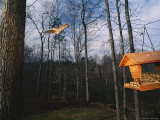 An Eastern Gray Squirrel Jumps from a Tree Towards a Hanging Feeder Photographic Print by Roy Toft