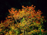 Flowering Cockspur Coral Trees Photographic Print by Tim Laman