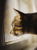A Profile of a Tabby Cat Photographic Print by Stephen St. John