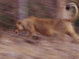 Asian Lion Runs Through the Forest Photographic Print by Mattias Klum