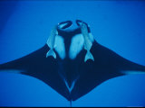 A Manta Ray with Remoras Photographic Print