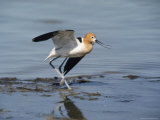 American Avocet Photographic Print by Bates Littlehales