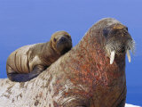 A Young Atlantic Walrus Pup Seeks Refuge on its Mothers Back Photographic Print
