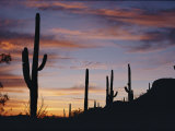Saguaro Cacti are Silhouetted against the Sky Photographic Print by George F. Mobley