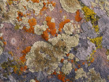 Colorful Lichen Covers a Rock Surface Photographic Print by George F. Mobley