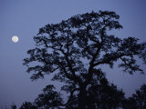 Moonrise over a Silhouetted Tree Photographic Print by Marc Moritsch