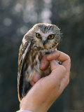 Hand Holding a Northern Saw-Whet Owl Fotografie-Druck von Kenneth Love