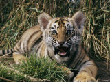 A Captive Tiger Gives a Little Roar Photographic Print