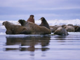 A Group of Atlantic Walruses (Odobenus Rosmarus) Rest on a Pack of Ice Photographic Print by Paul Nicklen