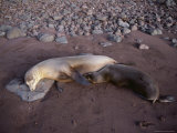 Basking Galapagos Sea Lions Photographic Print by Sam Abell