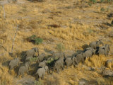 Aerial View of a Breeding Herd of African Elephants Enroute from Savuti to Linyanti Photographic Print by Beverly Joubert