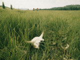 Buffalo Skull in the Grass Photographic Print by Sam Abell