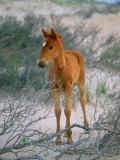 A Wild Pony on the Beach at Chincoteague Island Fotografisk tryk af Scott Sroka