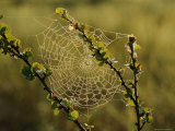 A Dewy Spider Web on a Dwarf Birch Tree Photographic Print by Mattias Klum