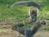 An Eastern Gray Squirrel Grooms a Paw Photographic Print