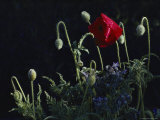 A Red Poppy Flower and Pods Photographic Print by Sam Abell