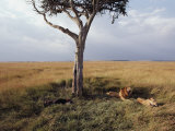 A Male and a Female Lion Rest under a Tree Photographic Print by Jodi Cobb