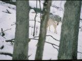 Wolf Photographic Print by Michael Nichols