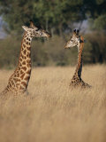 A Pair of Masai Giraffes Stand Above the Brush Photographic Print by Roy Toft