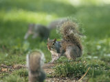 Two Eastern Gray Squirrels Confront One Another Photographic Print