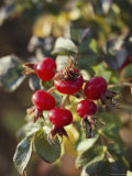 Ramanus Rose Hips are a Source of Vitamin C Photographic Print by Sam Abell