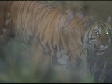 An Indian Tiger Uses the Tall Grass to Conceal Himself Photographic Print by Michael Nichols