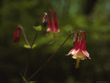 Columbine Flowers Fotoprint van James P. Blair