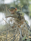 A Young Baboon Sits on Branches Photographic Print by Roy Toft