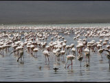 Lesser Flamingos Feed on Algae in the Shallow Waters of Lake Magadi Photographic Print by George F. Mobley