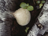 A Bulbous Birch Polypore Fungus Photographic Print by Sam Abell