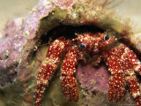 A White Speckled Hermit Crab (Paguristes Punticeps) Photographic Print by Heather Perry