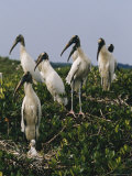 Wood Ibises Photographic Print by Farrell Grehan